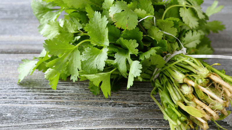 Can Cats Eat Cilantro? Here's the Answer